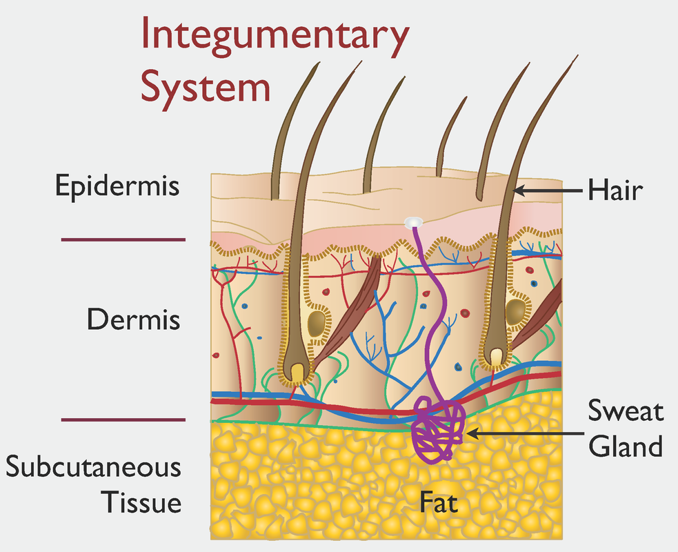 The Integumentary System Human Physiology Anatomy